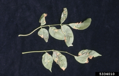 Anthracnose (Ash)