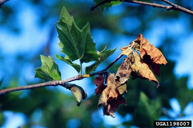 Anthracnose (Sycamore)