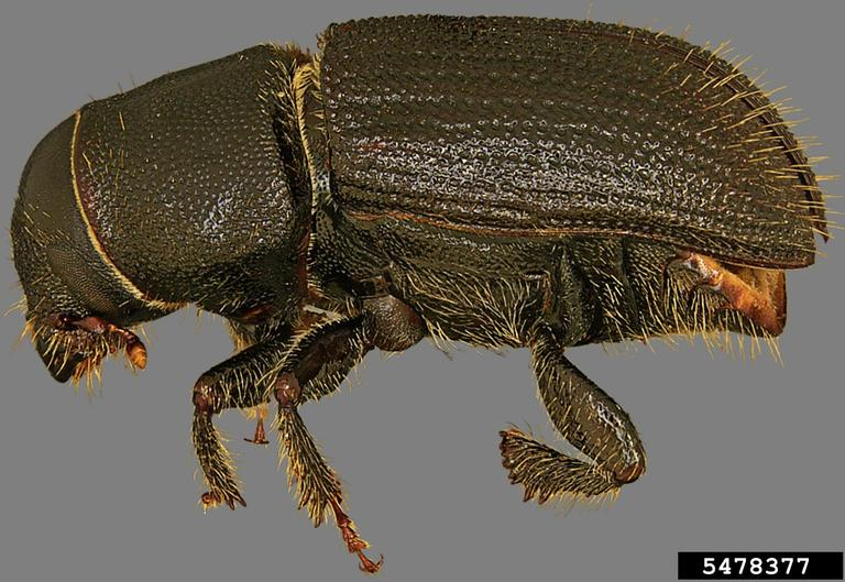 Black Turpentine Beetle