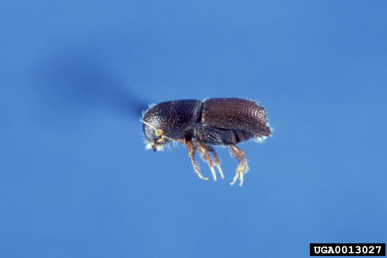 Four-spined Engraver Beetle